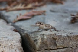 Since the owner stopped spraying for pests, western fence lizards began to move in and nest in the irrigation boxes.