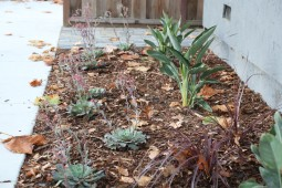 A new planting of Echeveria, Cordyline, and Birds of Paradise provide year round interest against the rich charcoal color of the home.